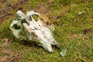 Animal skull found in a forest, overgrown with moss