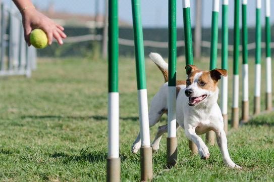 Slalom Agility Dog Jack Russell
