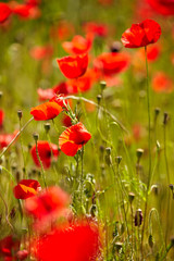 Wall Mural - Field of bright red corn poppy flowers in summer
