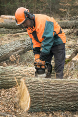 Forestry worker with chainsaw is sawing a log. Process of loggin