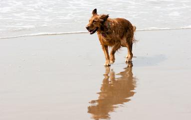 Irish Setter Golden Retriever Dog Running Ocean Surf Sandy Beach