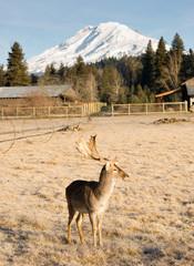 Beautiful Engaged Wildlife Male Buck Elk Antlers Horns Mountain