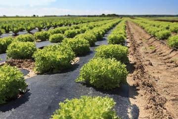 Kopfsalat auf dem Feld
