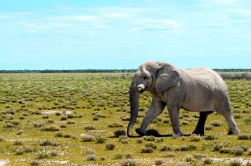 Elephant in Etosha