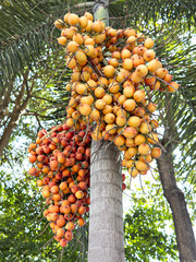 Palm fruit on the tree, tropical plant for bio diesel production