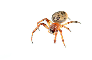 Closeup photo of a spider isolated on white