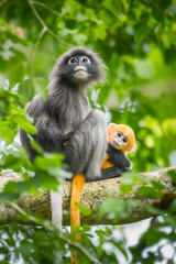 Dusky Leaf-monkey with her very young baby in nature