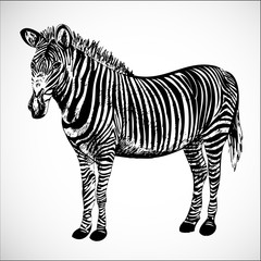 Hand-drawn zebra vector