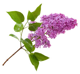 Poster Lilac purple lilac branch isolated on white