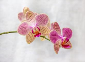 Phalaenopsis flowers (orchid)3
