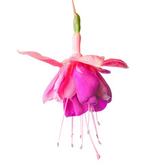 lilac and white fuchsia, isolated on white background, `Rocket F