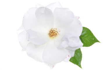 White rose head isolated on white background