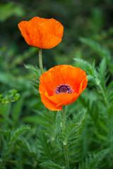 Poppy flower on field