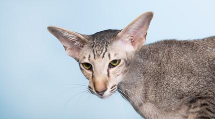 Studio portrait of seal tabby Siamese cat
