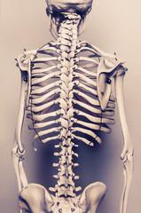 Human skeleton The back vertebral