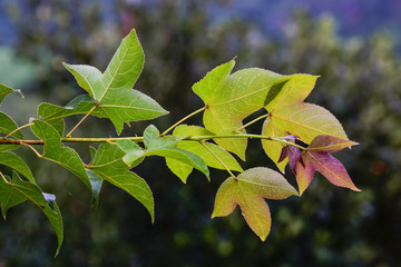 Green  maple leaf isolated Acer calcaratum Gagnep