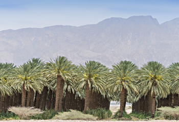 Palm plantation at desert of the Negev, Israel