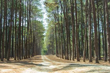 Pine plantations