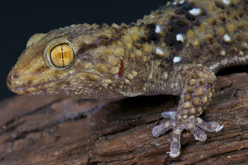 Wall Mural - Thick toed gecko / Chondrodactylus turneri