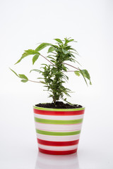 marihuana in a striped flower pot decoration