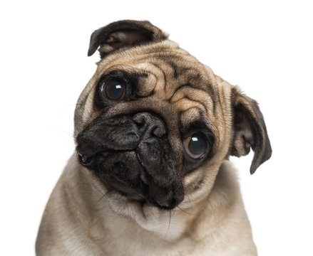 Headshot of a Pug (9 months old)