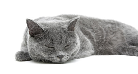 sleeping gray cat (breed scottish-straight) on a white backgroun