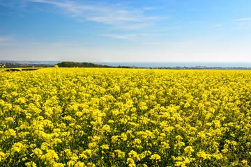 Rape seed field at Cap Gris Nez, France