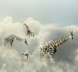 Obraz Giraffes Paradise - fototapety do salonu