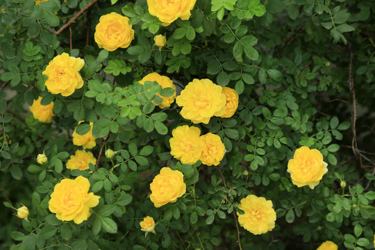 Beautiful yellow roses on green bush