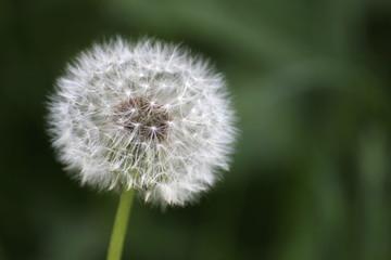 Dandelion (Taraxacum) blowball on defocused background.
