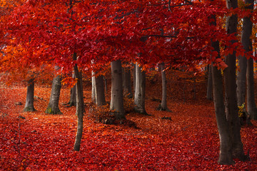 Printed roller blinds Magenta Red trees in the forest during fall