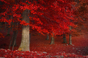 Foto op Plexiglas Rood paars Red trees in the forest during fall