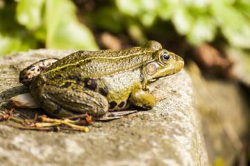 Frosch auf einem Stein sitzend