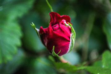 bud red rose, love, Valentine's Day