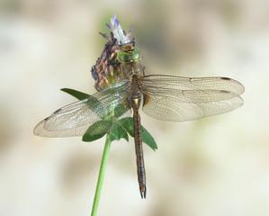 Aeshna isoceles (male)