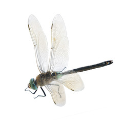 Dragonfliy Anax parthenope (male)