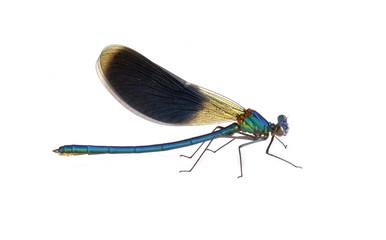 Dragonfly Calopteryx splendens (male)