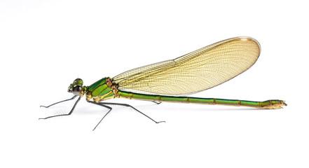 Dragonfly Calopteryx syriaca (female)