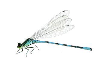 Dragonfly Coenagrion hastulatum (male)