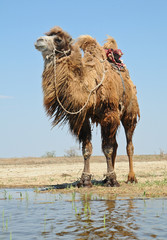 Bactrian camel saddled