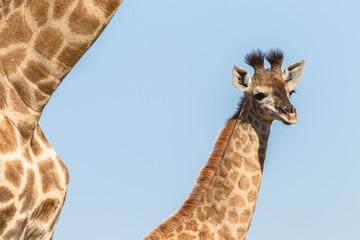 Giraffe Calf Closeup Wildlife
