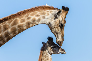 Giraffe Mother Calf Closeup Affections Wildlife