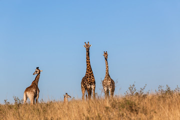 Giraffes Calf Wildlife Animals