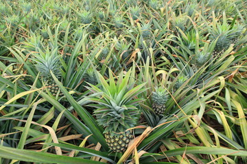 pineapple fruit field
