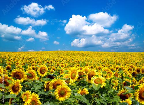 Sunflower field stockfotos und lizenzfreie bilder auf bild 65843665 - Fotomurales pixel ...