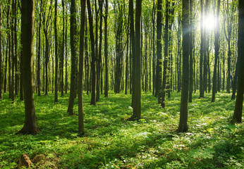 Wall Mural - forest trees. nature green wood sunlight backgrounds.