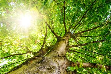 Kraftquelle: Alter Kastanienbaum im Morgenlicht :)