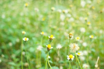 Field of Mexican daisy, Coatbuttons.