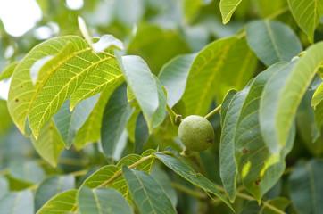 Green walnut growing on a tree