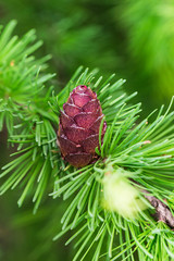 fresh cone on a larch